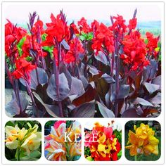 Hot Sale! 100 Pcs/Pack Beautiful flower Small canna lily seeds, Garden plant, flower seeds