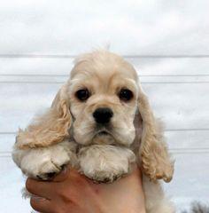 Cocker Spaniel cutie pie