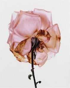 still a rose