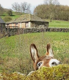 """I'm just the best at hide and seek!"" - Cute donkey photo by Calton Lees Chatsworth The Animals, Farm Animals, Funny Animals, Beautiful Creatures, Animals Beautiful, Cute Donkey, Baby Donkey, Tier Fotos, Belle Photo"
