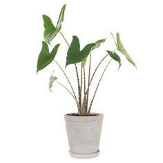 Green lifestyle store Alocasia Zebrina incl. pot Lifestyle Store, Photosynthesis, Types Of Plants, Houseplants, Cactus Plants, Planters, Indoor, Gardening, Nice