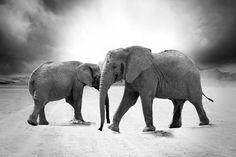 Elephant, Ivory, Animals, Africa