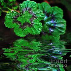 #GERANIUM #LEAVES - #REFLECTIONS ON #POND - Quality Prints & Cards at: http://kaye-menner.artistwebsites.com/featured/geranium-leaves-reflections-on-pond-kaye-menner.html  -