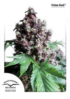 Frisian Duck Feminised Seeds #homegrown