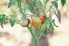 Coca Cola, Holi, Vegetables, Plants, Gardening, Coke, Lawn And Garden, Holi Celebration, Vegetable Recipes