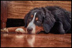 My Bernese Mountain Dog. Denver resting up for tomorrow's activities!
