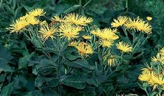 """Doronicum spp. - also known as """"Leopard's Bane"""""""
