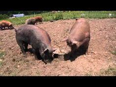 pasture raising pigs
