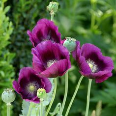 purple poppies...who knew??