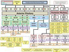 Complete Endocrine Hormone Breakdown APII – Endocrine Hormone Flow Chart, with 33 Similar files Top Nursing Schools, Nursing School Notes, Nursing Students, Medical Students, Endocrine Hormones, Endocrine System, Pharmacy School, Medical School, Medical Laboratory Science