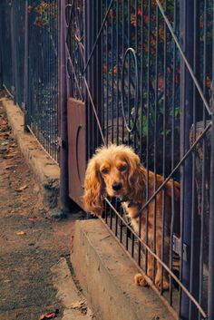 Looks just like my Winston. He was a golden English Cocker Spaniel. Lived to be almost 17 years old. Cute Puppies, Cute Dogs, Dogs And Puppies, Doggies, Beautiful Dogs, Animals Beautiful, Animals And Pets, Cute Animals, Dog Breeds