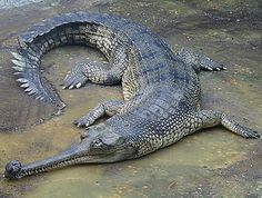 8. Gharials, India and surrounding areas