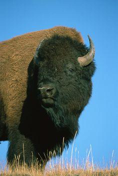 Featured Art - American Bison Bull by Ingo Arndt Large Animals, Cute Animals, Wild Animals, Beautiful Creatures, Animals Beautiful, Musk Ox, American Bison, Types Of Animals, All Gods Creatures
