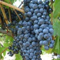 Fetească neagră Vines, Fruit, Food, Products, Canning, Plant, Eten, Meals, Grape Vines