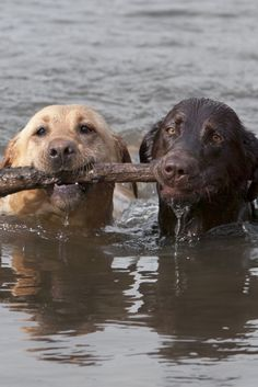 Yellow and chocolate labrador retrievers swim toward shore after fetching a stick. Baby Dogs, Pet Dogs, Dog Cat, Pets, Doggies, Rottweiler Puppies, Lab Puppies, Perro Labrador Retriever, Yellow Labrador Retrievers