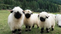 Valais Blacknose - looks more like a plush toy than a sheep