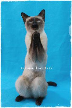 爆発 explosion การระเบิด バンコク Bangkok กรุงเทพฯ シャム猫 タイ 原種 Siamese cat Thailand แมว ไทย วิเชียรมาศ