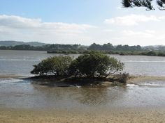 Mangrove at camping Mangawhai Heads