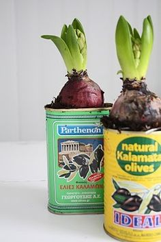 Bulb Plant for Indoors (love the vintage tins) Garden Bulbs, Garden Plants, Indoor Plants, Herb Garden, Container Gardening, Gardening Tips, Box Deco, Kalamata Olives, Cactus