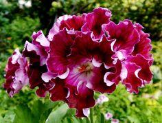 герань королевская цветки фото