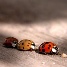 """If you want to learn how to take photos similar to this one of ladybugs, click through to this article on """"Macro Photography Tips for Point and Shoot Cameras"""" from Digital Photography School. Fotografia Macro, Beautiful Creatures, Animals Beautiful, Cute Animals, Funny Animals, Macro Photography Tips, Scenic Photography, Night Photography, Landscape Photography"""