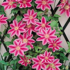 Loistokärhö Doctor Ruppel - Viherpeukalot Clematis, Spring, Flowers, Garden, Cottage Garden, Plants
