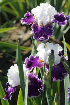 Garden Bulbs, Garden Plants, House Plants, My Flower, Flower Art, Purple Flowers, Beautiful Flowers, Bearded Iris, Bearded Men