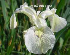 Iris pseudacorus 'Junges White Selection' -Vit svärdslilja. Breda blad och ganska hög.