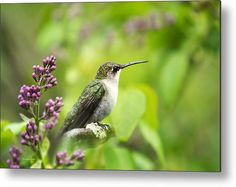 Spring Beauty Ruby Throat Hummingbird Metal Print by Christina Rollo.  All metal prints are professionally printed, packaged, and shipped within 3 - 4 business days and delivered ready-to-hang on your wall. Choose from multiple sizes and mounting options.