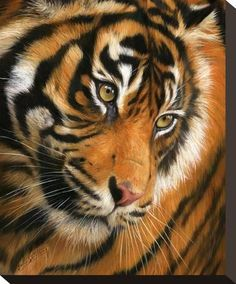 Stretched Canvas Print: Tiger Face Portrait by David Stribbling : 12x10in