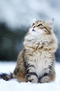 norwegian forest cat http://www.kittyinny.com/
