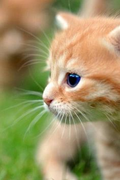 Gorgeous eyes of cute orange kitty... click on pic to see more