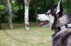 Fashion dog collar for Siberian Husky made of nylon