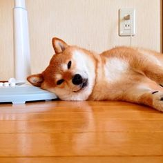 Tired Shiba Inu.