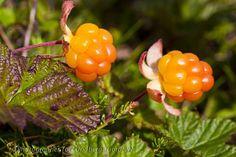 Hjortron Fruits And Veggies, Vegetables, Strawberry Plants, Fruit Drinks, Harvest Time, Watercolor Landscape, Fresh Fruit, Wild Flowers, Planting Flowers