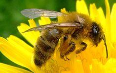 A Honey Bee Menu For Pollen   Nectar  http://www.rodalesorganiclife.com/garden/honey-bee-menu-pollen-and-nectar