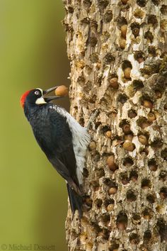 "Acorn Woodpecker - Corvallis, Oregon. This bird is tending to a store of acorns in a ""granary tree"". They live in extended family groups, and cache acorns up to 50,000 at a time in carefully tended holes in trees and telephone poles."