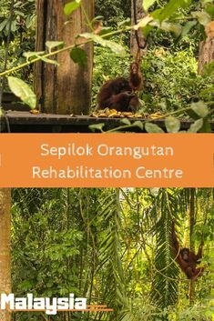 Sepilok Orangutan Rehabilitation Centre in Malaysia should be on the top of your bucket list. Watch baby orangutans at play, and be amazed by these beautiful creatures in close proximity. Just hold onto your camera! Baby Orangutan, Orangutans, Amazing Destinations, Travel Destinations, Laos Vietnam, Travel Photos, Travel Articles, Travel Tips, Local Tour