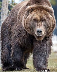 Learn more about bear safety and awareness from the Grizzly and Wolf Discovery Center. Ours Grizzly, Grizzly Bears, Love Bear, Big Bear, Bear Pictures, Animal Pictures, Bear Attack, Bear Hunting, Wild Creatures