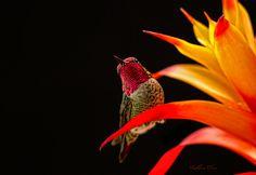 A hummingbird resting on a Bromeliad. Fierce Animals, Cute Animals, Little Birds, Love Birds, Hummingbird Pictures, Metallic Paper, Photography Contests, Peek A Boos, Pet Birds