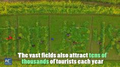 A golden sea of rapeseed flowers in SW China's Guangxi become a popular tourist draw.