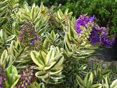 "Hebe ""Autumn Glory Variegata"" Hedging Plants, Garden Plants, Planting Flowers, Garden Ideas, Coastal, Gardening, Autumn, Fall, Lawn And Garden"