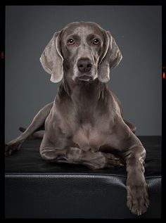 WEIMARANER DOG PORTRAITS / PHASE ONE IQ 250 by klaus dyba, via Behance #officetrends #inspiration #dogs
