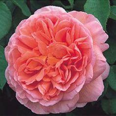 アブラハムダービー 強香 180×150cm ずっと咲く