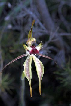 Diamond Spider-Orchid - Caladenia rhomboidiformis