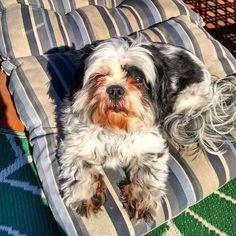 Feelin' dat  #dog #dogs #dogsofinstagram #dogstagram #instadog #pets #petsofinstagram #petstagram #instapet #shihtzu #shihtzus #shihtzusofinstagram #shihtzugram #instashihtzu #smalldog #smalldogs #smalldogsofinstagram #rescue #rescuedog #rescuedogs #rescuedogsofinstagram #sunny #sunnydays #lounging  Photo By: iggypups  http://bit.ly/teacupdogshq