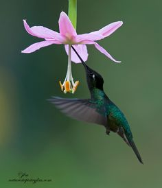 hummingbird from costa rica