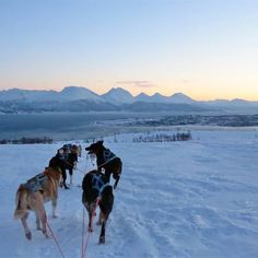 Experience the fantastic Arctic light while driving your own dog sled. We will teach you how to control the dog sled before your guided adventure into