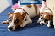 Here are important life lessons that are sometimes easy to forget in our hectic lives, that all Jack Russell owners must never forget...