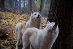 wolves Wolves, Friends, Cute, Animals, Amigos, Animales, Animaux, Wolf, Kawaii